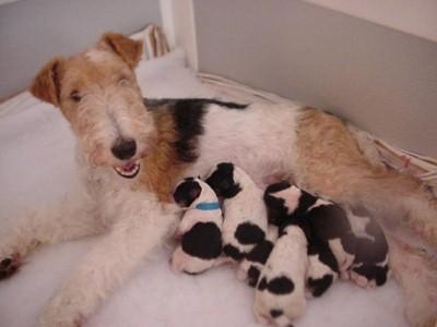 Fox terrier madre