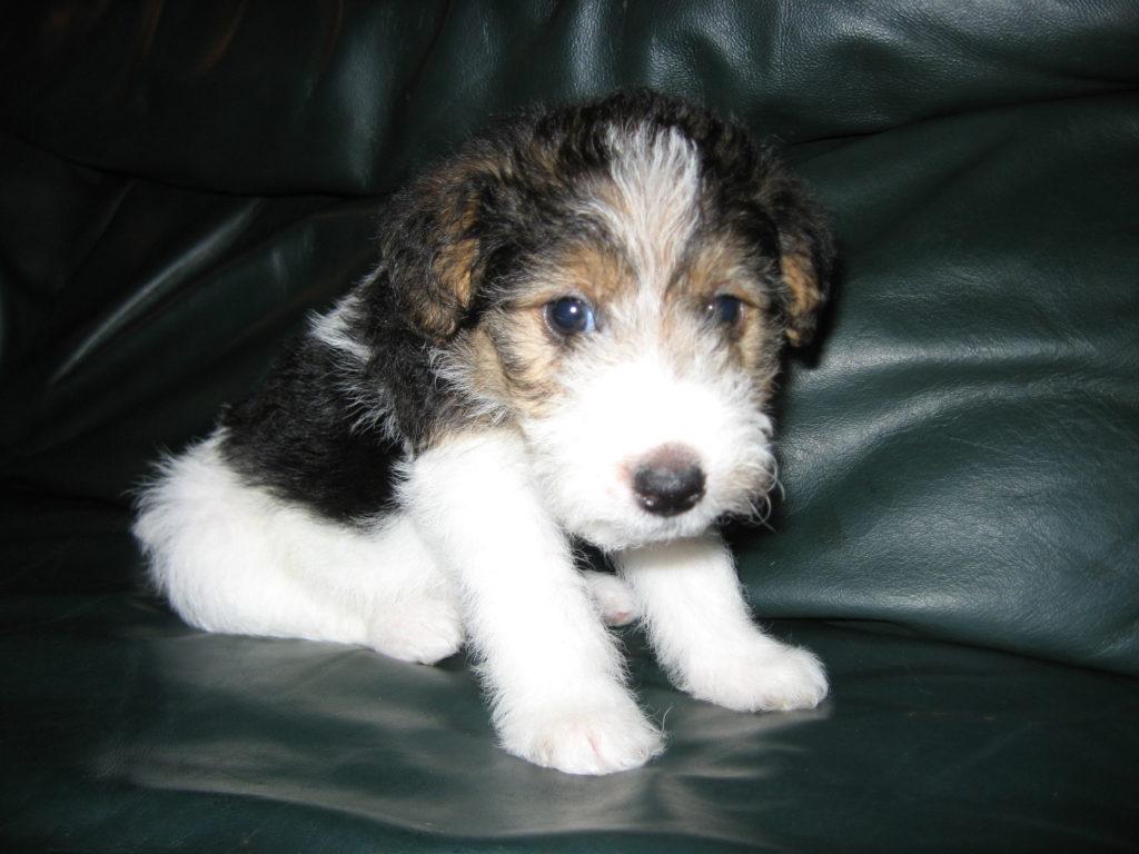Fox terrier inocente