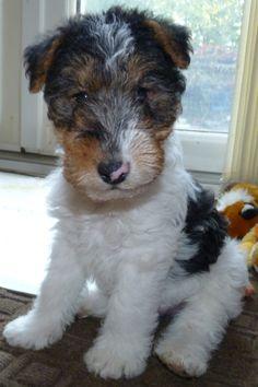 Fox terrier toy puppy