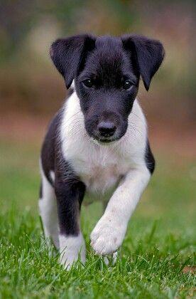 Fox terrier smooth cachorro