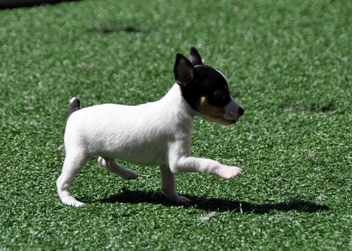 Fox terrier marcahndo