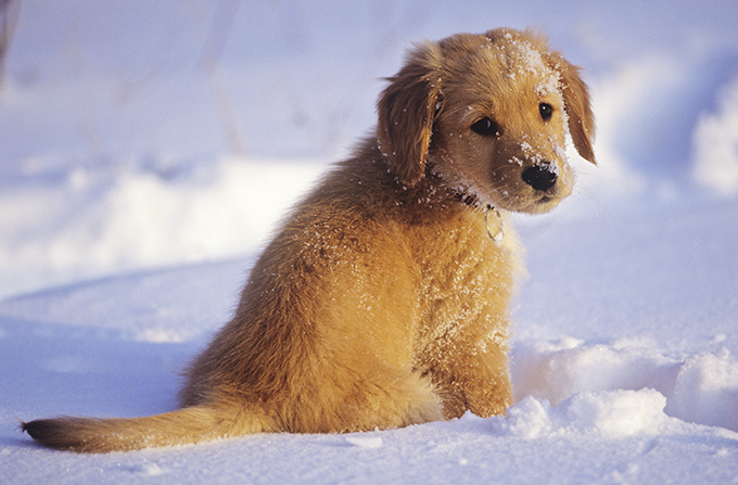 golden retriever en la nieve