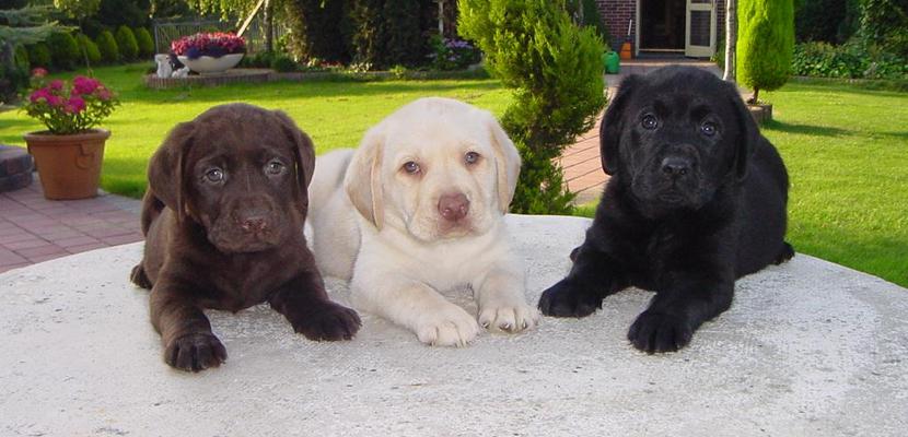 Labrador Retriever hermanitos