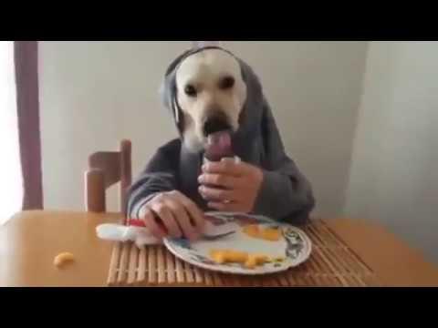 Labrador Retriever cenando