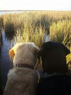 Labrador Retriever amor