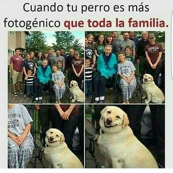 Labrador Retriever chiste