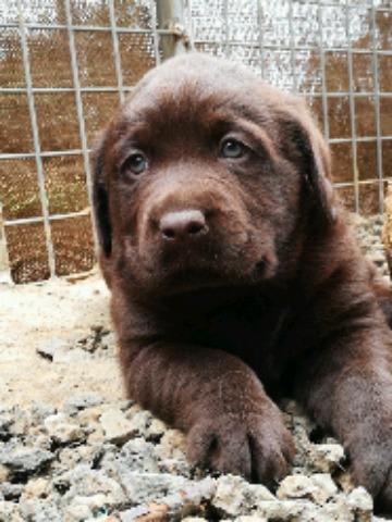 Labrador Retriever bonitos ojos