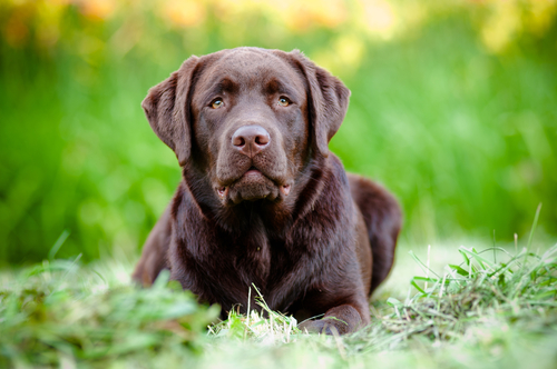 Labrador Retriever serio