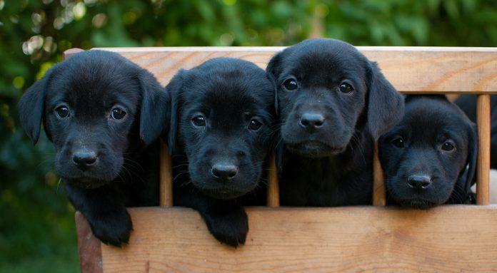 Labrador Retriever en caja