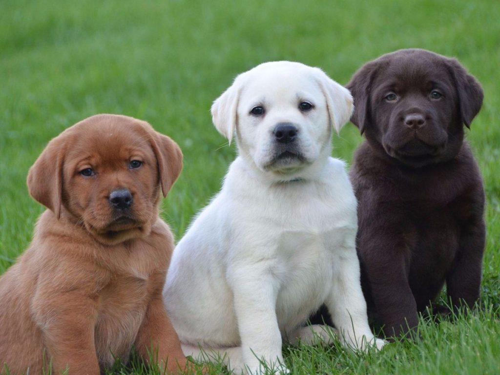 Labrador Retriever puppy colors