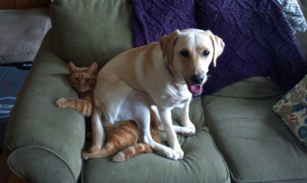 Labrador Retriever aplastando gato