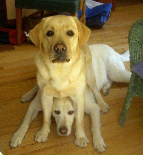 Labrador Retriever sentado sobre perro