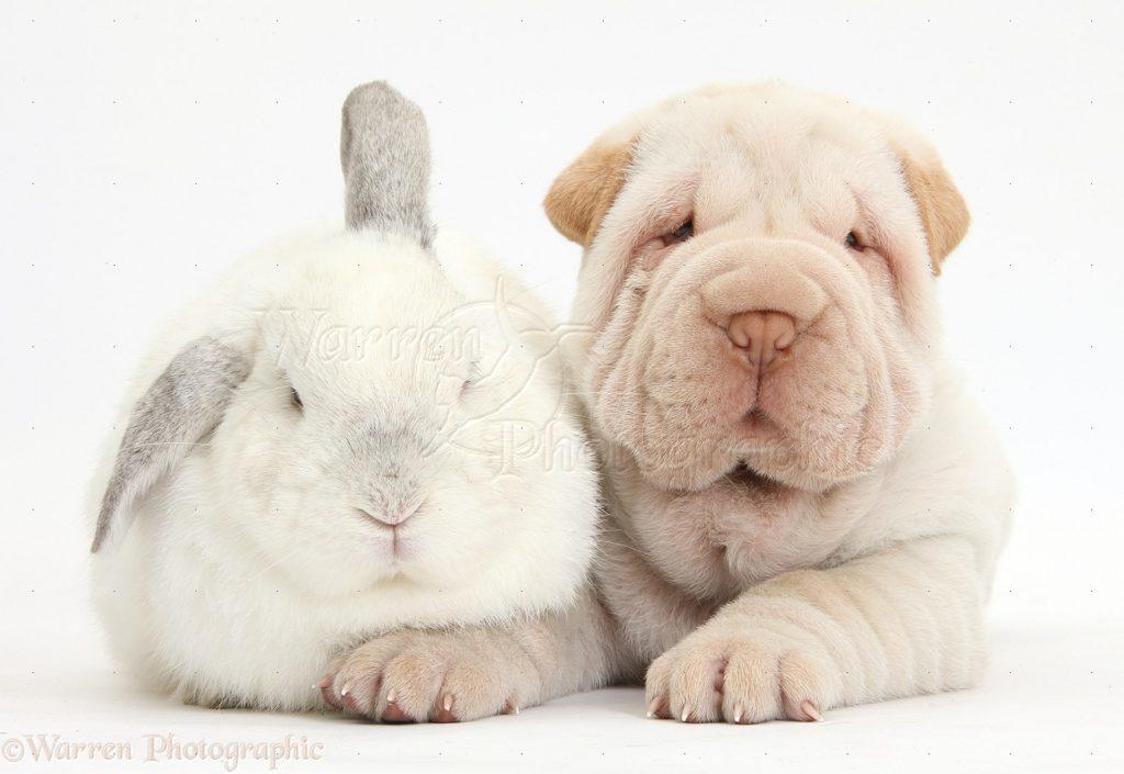 Shar Pei con conejo