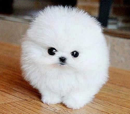 Spitz Aleman cachorro bebe