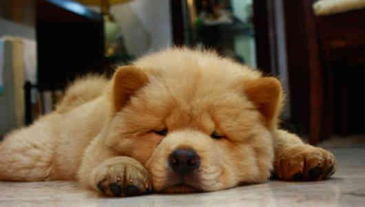 chow chow cansado