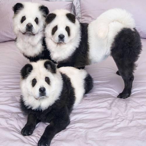 chow chow panda camada