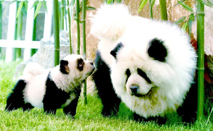 chow chow madre e hija