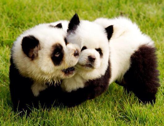 chow chow dizfras panda