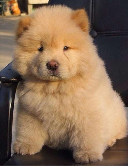chow chow fat