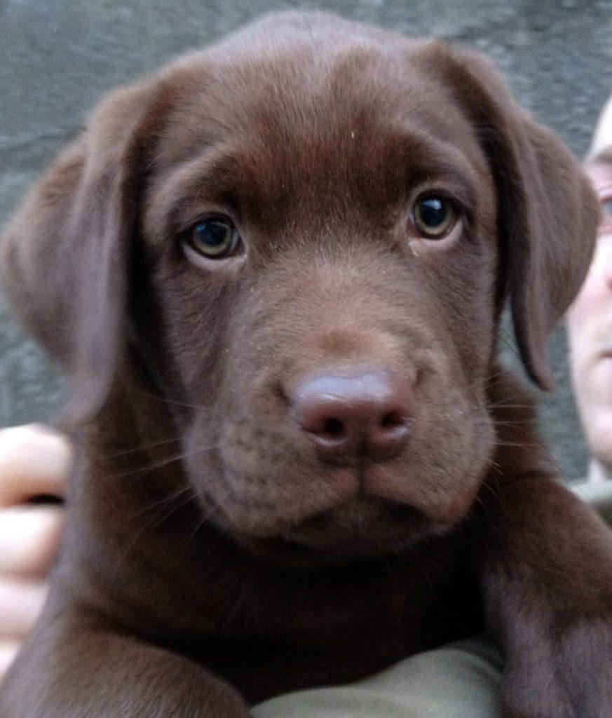 labrador retriever chocolate ojos azules
