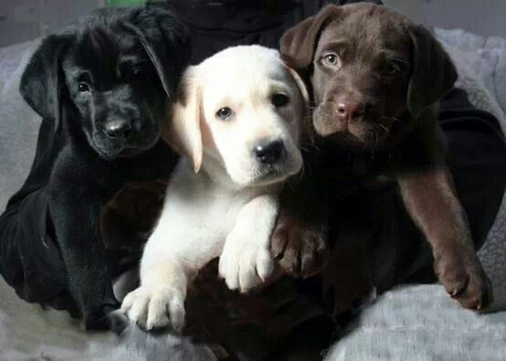 labrador retriever brothers