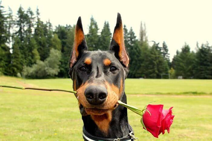 Doberman con rosa