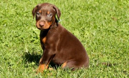 Doberman cachorro marrón