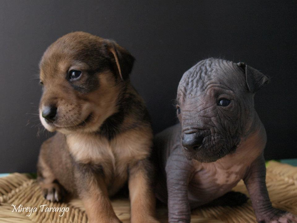 Xoloitzcuintli bonitos