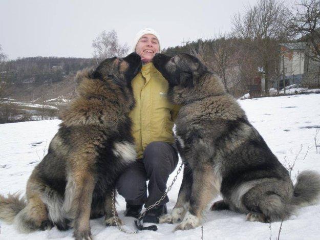 Mastín del Cáucaso hemanos