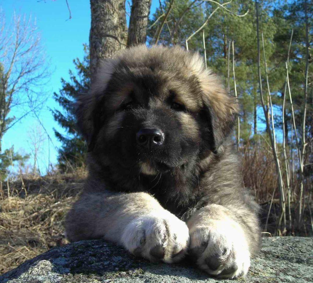 caucasian ovcharka cachorro