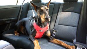 seguridad en el carro para perros con cinturones