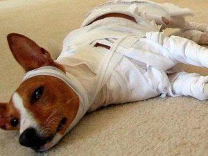 perrito con su disfraz casero