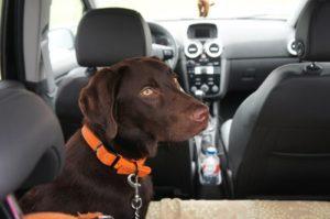 cinturon de seguridad para el perro