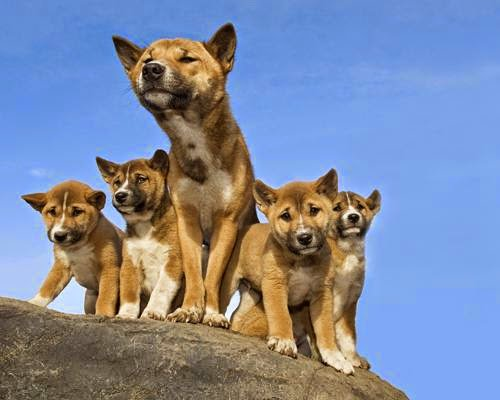 Hembra y crias de Perros Cantores