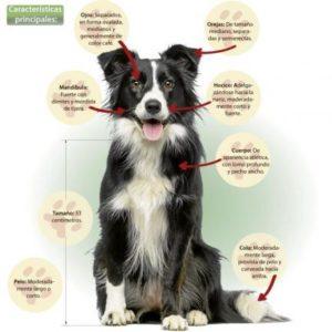 10 razas de perros inteligentes