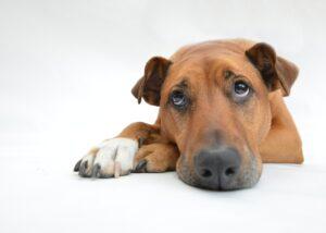 síntomas hepatitis en perros