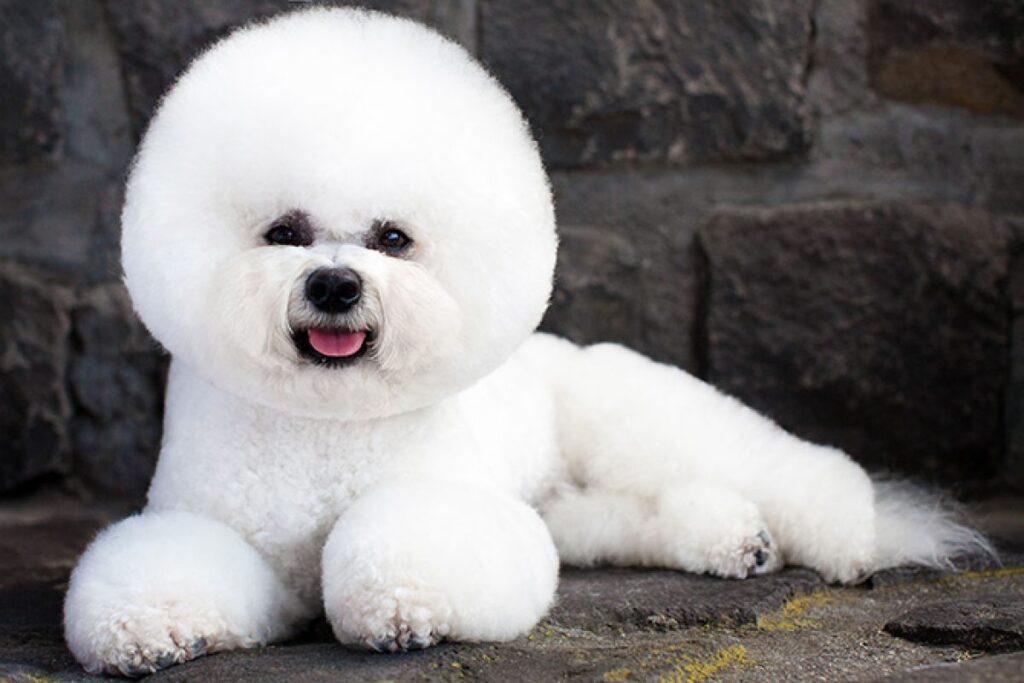perros de compañia raza pequeña