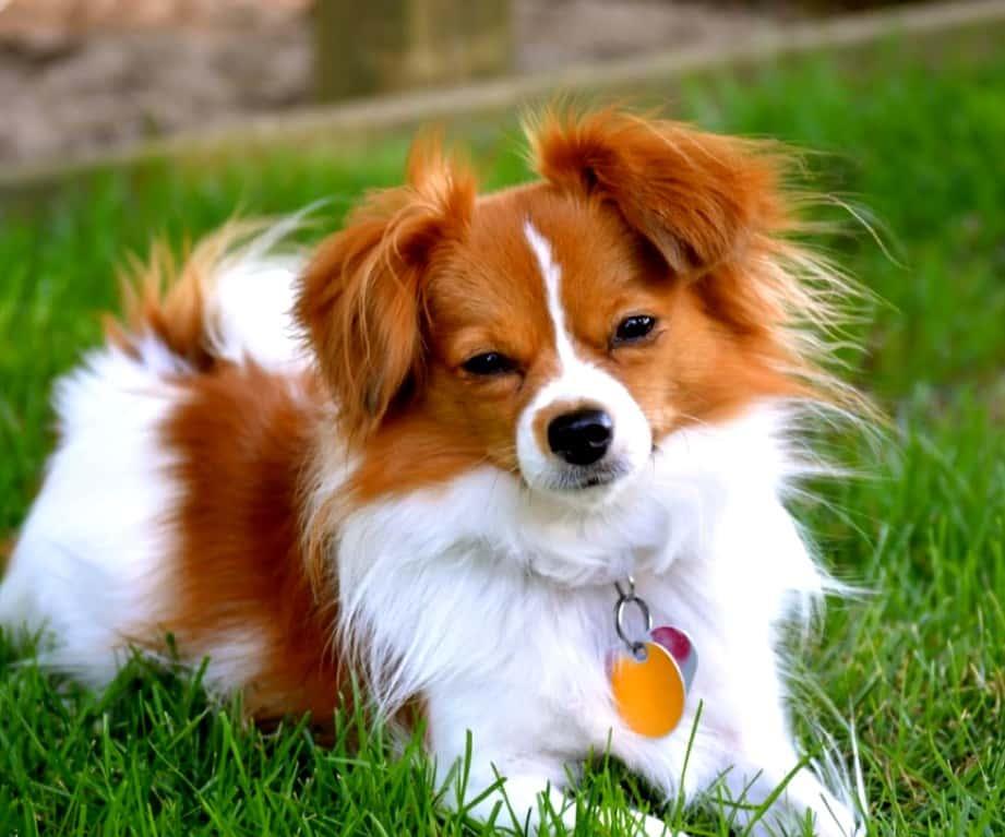 perro pequeño de compañía