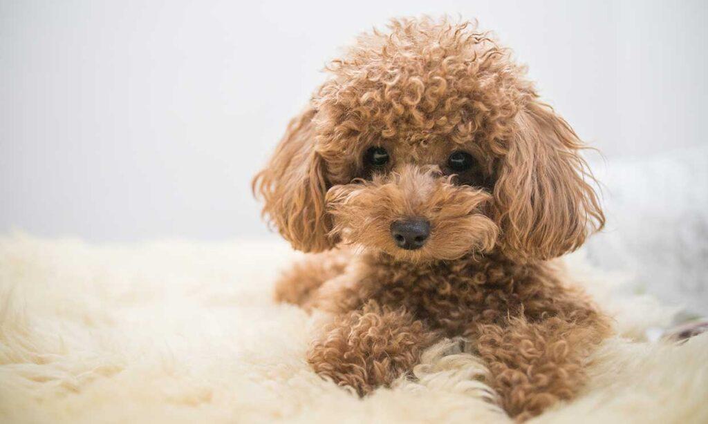 mejor perro pequeño de compañía