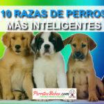 10 Raza de Perros Inteligentes