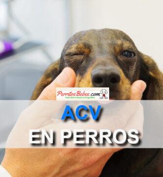 sintomas de un acv en perros con su tratamiento
