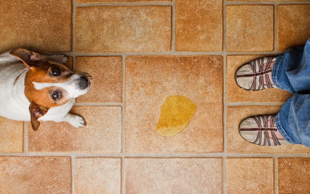 cuanto aguanta un perro sin hacer pipi
